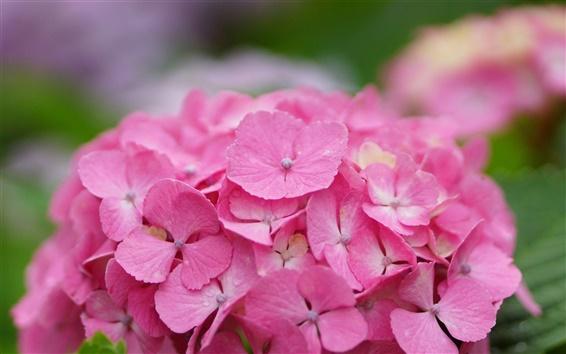 Wallpaper Beautiful pink hydrangea flowers