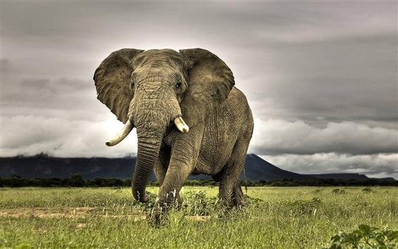 Wallpaper Big animals, elephant