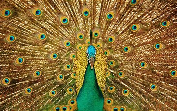 Papéis de Parede Aves close-up, pavão, rabo lindo