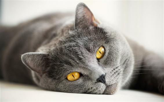 Wallpaper British gray cat, yellow eyes