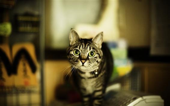 Обои Кошка в доме, зеленые глаза
