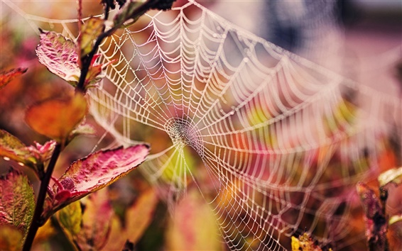 Fondos de pantalla Telaraña, gotas de agua, hojas rojas, otoño