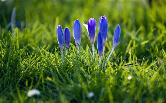 Papéis de Parede Açafrão, pétalas azuis, brotos, grama, primavera