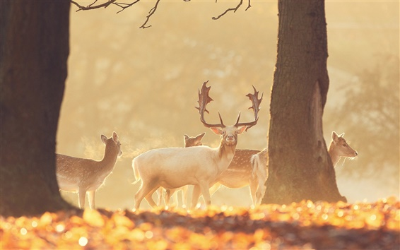 Wallpaper Deer in the forest, warm sun