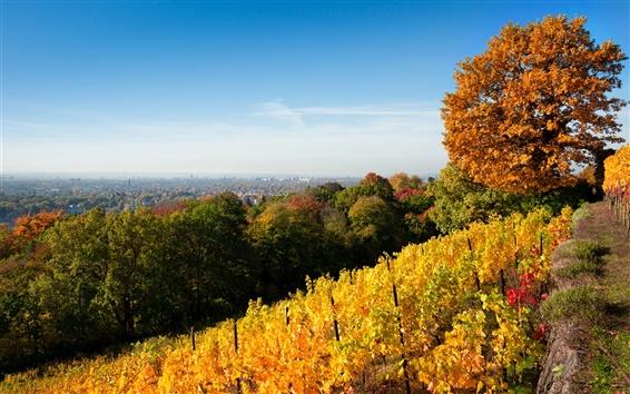 Обои Дрезден осень, природа, деревья, виноградник, желтые листья