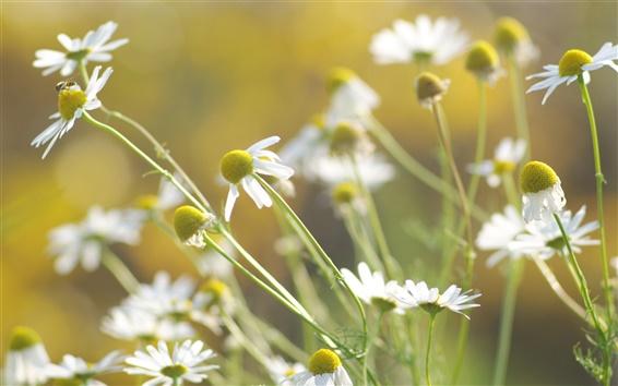 Обои Цветы крупным планом, ромашки, белые лепестки