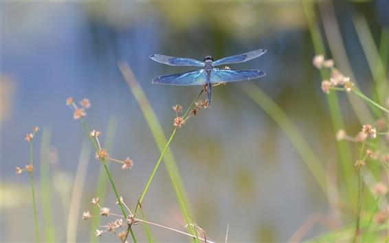 Fond d'écran Insecte libellule macro photographie