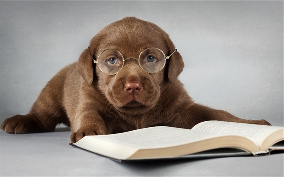 Wallpaper Labrador dog, brown, read a book, glasses
