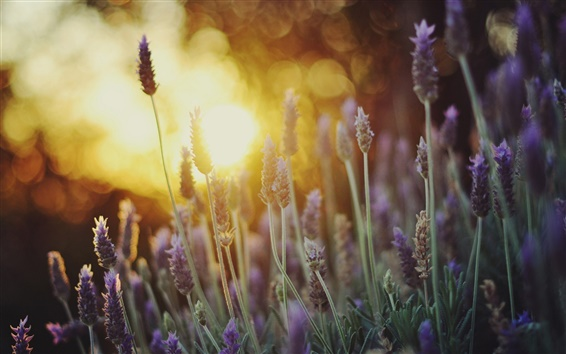 Wallpaper Lavender flowers close-up, sunlight, bokeh