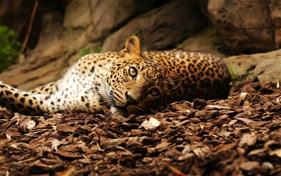 Wallpaper Leopard lying ground, eyes, stones