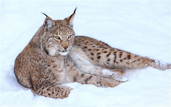 Wallpaper Lynx in snow winter