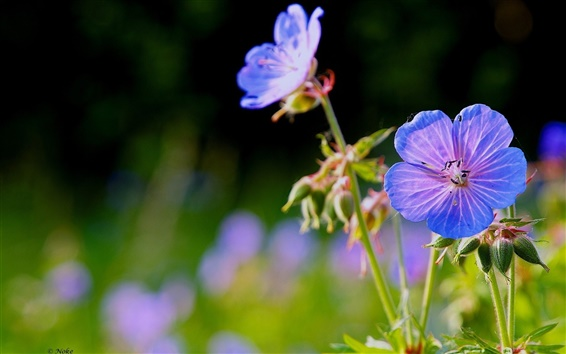 Wallpaper Nature blue flowers