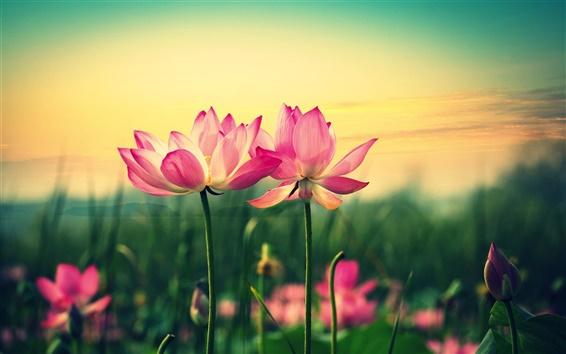 Wallpaper Pink lotus, flowers at sunset