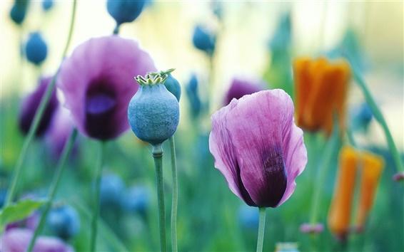 Papéis de Parede flores da papoila