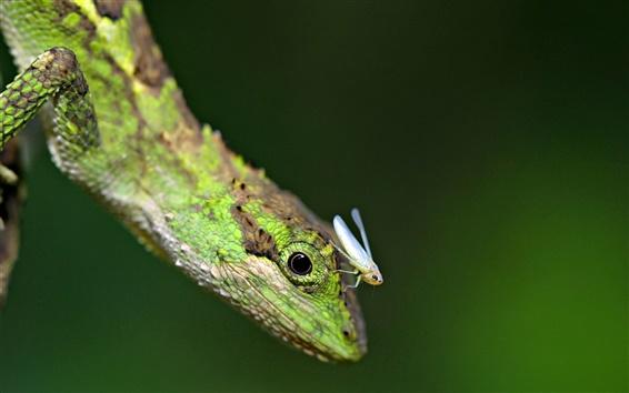 Fond d'écran Reptile lézard avec les insectes