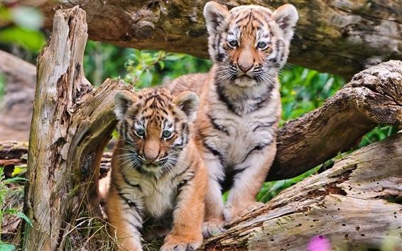Papéis de Parede Filhotes de tigre close-up