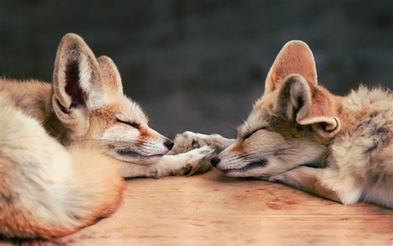 Wallpaper Two sleeping foxes