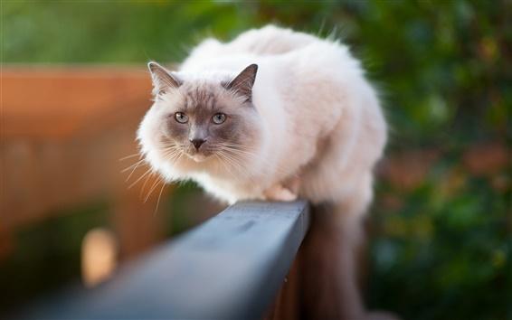 Обои Белая кошка, идущая на заборе