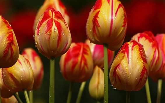 Wallpaper Yellow with red stripes tulips flowers