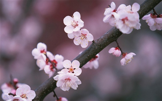 Wallpaper A tree branch cherry flowers blooming
