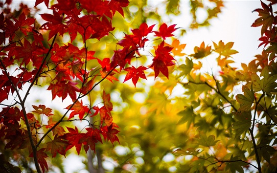 Wallpaper Autumn maple leaves, yellow, red, branches, blur