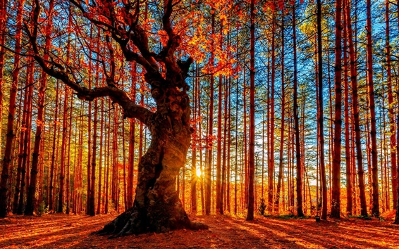 Wallpaper Beautiful autumn sunset forest, trees, red leaves