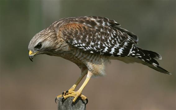 Papéis de Parede Pássaro close-up, falcão, senta-se no coto