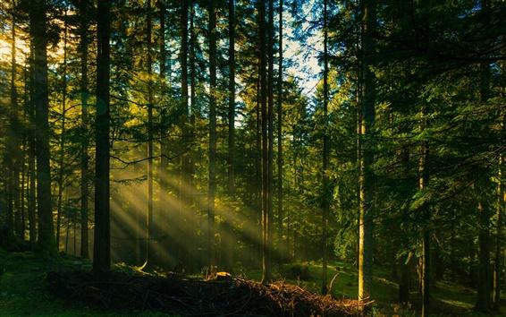 Fond d'écran Les arbres forestiers, les rayons du soleil