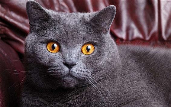 Papéis de Parede Gato cinzento em casa, olhos amarelos, enfrentam close-up