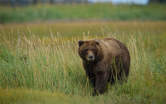 Wallpaper Grizzly bear in the grass