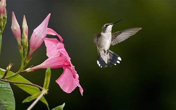 Wallpaper Hummingbird flying, pink flowers