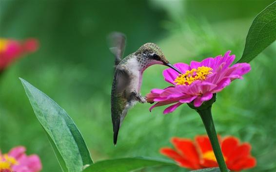 Wallpaper Hummingbird, pink flower, nectar
