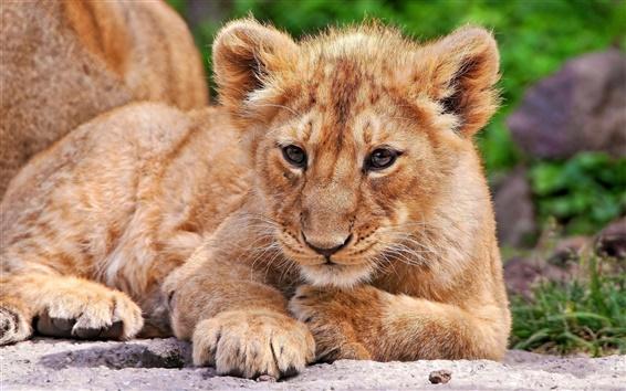 Wallpaper Lion cub close-up