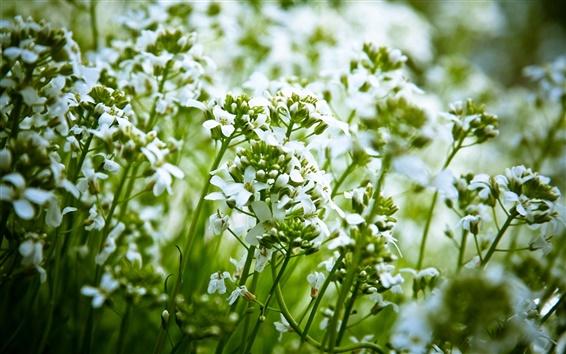 Fond d'écran Petites fleurs blanches, vert, arrière-plan flou