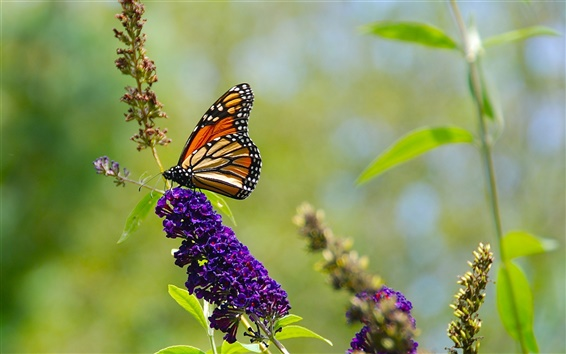 Wallpaper Nature summer, butterfly, purple flowers