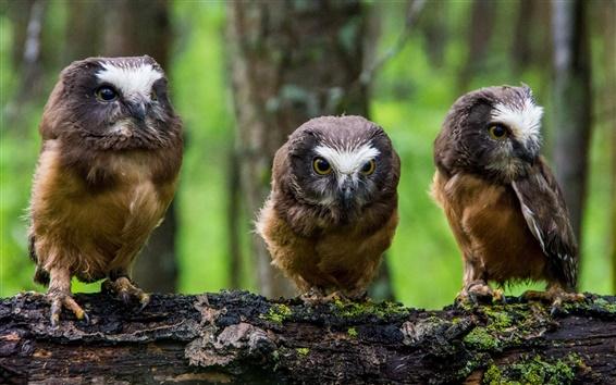 Papéis de Parede Norte-americano boreal coruja, três corujas pequenas