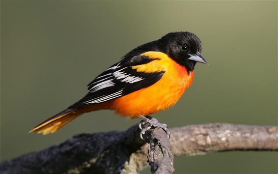 Fondos de pantalla Naranja negro plumas pájaro