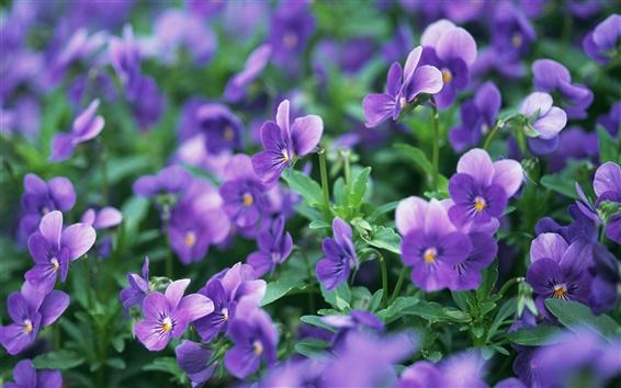 Wallpaper Pansies flowers, violet, meadow, macro photography