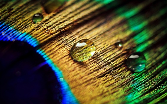 Wallpaper Peacock feather, water drops, macro photography