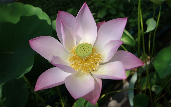 Wallpaper Pink White Lotus Flower Close Up 2560x1600 Hd Picture Image