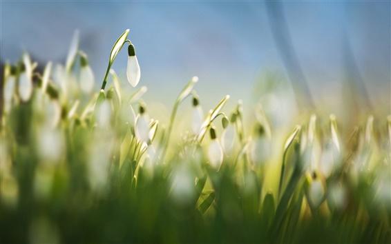 Papéis de Parede Snowdrops, flores brancas, grama, Primavera, macro, borrão