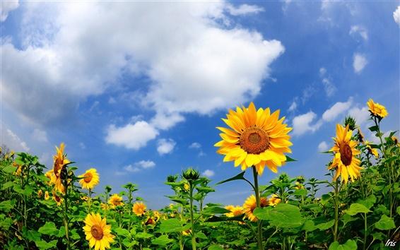 Fond d'écran Tournesols d'été, nuages, ciel bleu