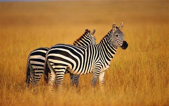 Papéis de Parede Duas zebras em pastagens de verão
