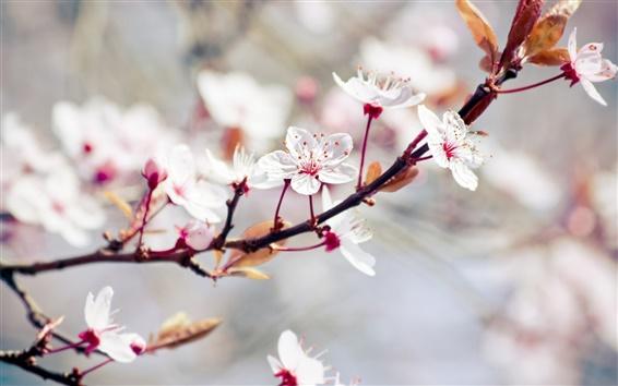 Wallpaper White flowers, spring trees