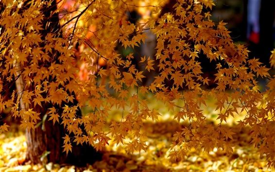 배경 화면 노란 단풍, 가을, 햇빛