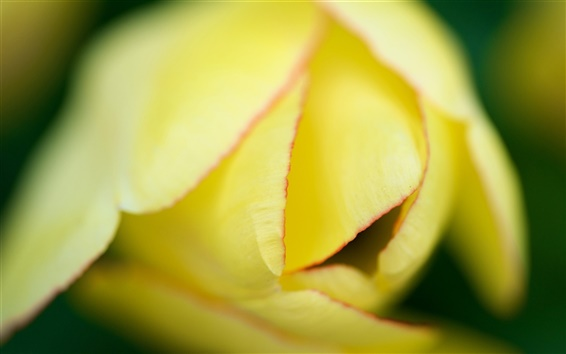 Wallpaper Yellow tulip flower macro photography