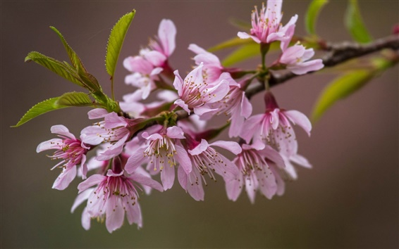 Wallpaper A branch flowers close-up, pink sakura