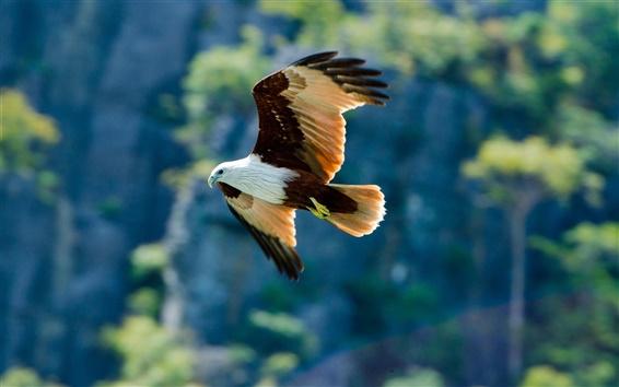 Papéis de Parede Pássaro, predador, a águia voando no céu