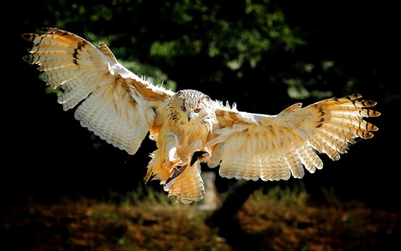 Обои Птица крылья, сова полета