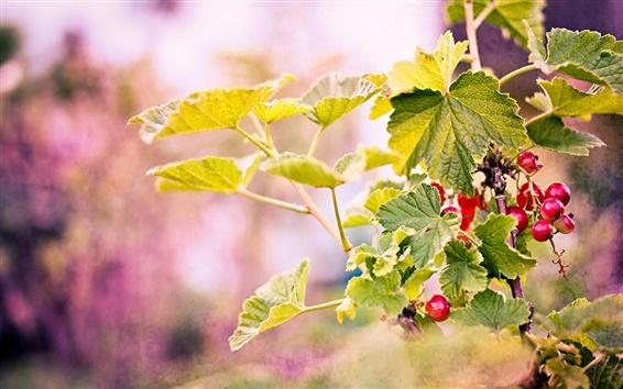 Fondos de pantalla Ramas, hojas, bayas rojas